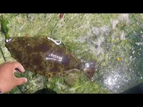 Shore Fishing For Halibut! |San Francisco Bay|
