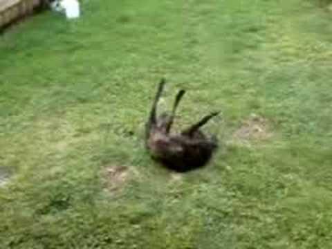 crazy dog does front flip