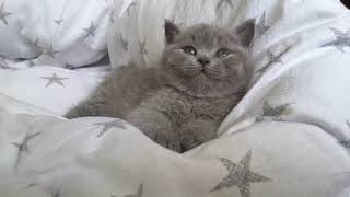 British Shorthair.  Jeremy from the morning*cattery Calmcat British Shorthair