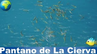 See what happened when I threw a piece of bread in the lake, Pantano de La Cierva