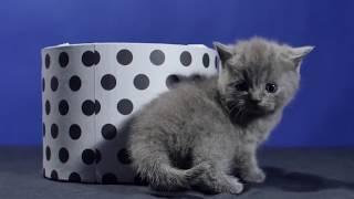 Смешной британский котенок играет с коробочкой - коты и кошки 2019 - приколы с котами