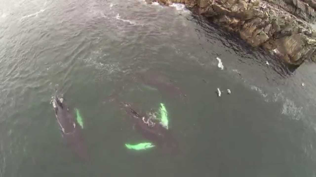 Drone Footage Of Humpback Whales Feeding Very Close To