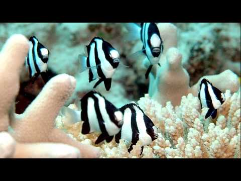 Facts: The Three Stripe Damselfish (Humbug Dascyllus)