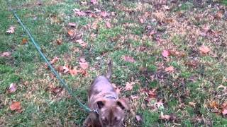 High Energy Pit Bull Puppy, Learns Basic Commands And Off Leash With Remote Collar