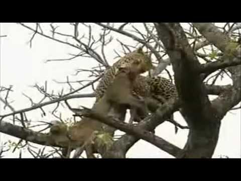 Sư tử leo cây dành mồi báo đốm