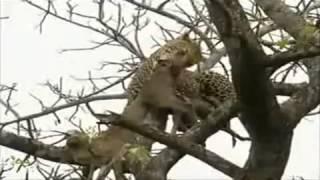 Repeat youtube video Sư tử leo cây dành mồi báo đốm