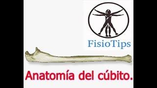 Gambar cover Anatomía del cúbito/ulna   osteología del miembro superior.