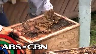 Bandila: Bee farm sa paanan ng Bulkang Mayon
