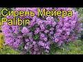 Сирень мейера Палибин. Краткий обзор, описание характеристик syringa meyeri Palibin