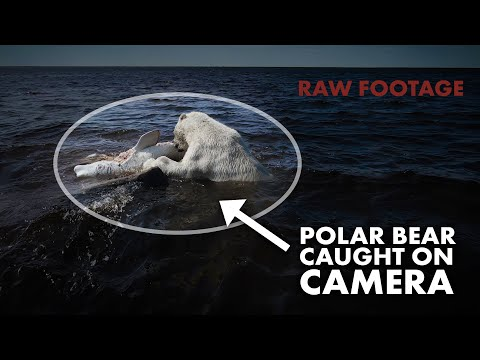 Polar Bear Hunts And Eats A Beluga Whale - Raw Footage