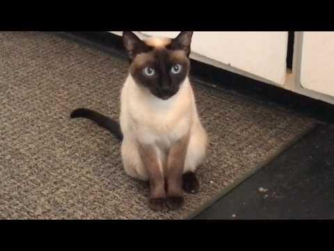 Talking siamese cat ginger