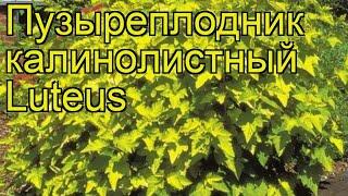 видео Пузыреплодник «Лютеус»