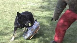 Nasty Schutzhund3 GSD Learning Object Guard Exercise