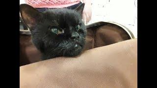 Выброшенные породистые коты (шотландец и британец)