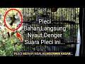 Burung Pleci Merapi Ngalas Cocok Buat Pancingan Pleci Bahan   Mp3 - Mp4 Download