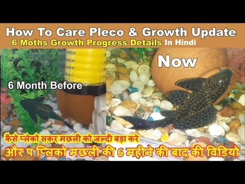 How To Care Pleco Fish & 6 Months Update Of My Pleco Fish - Sucker Fish Fast Growth Tips