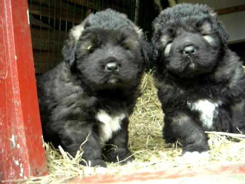 Caucasian Ovcharka Puppies 5 weeks old