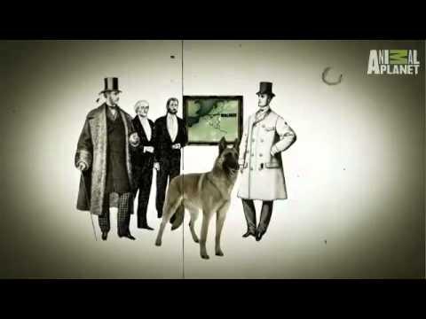 Petclubindia: Belgian Malinois - Dog Breed
