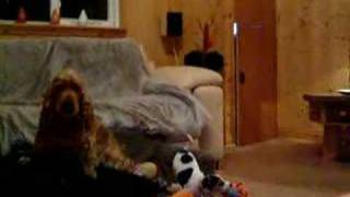 Cocker Spaniel Scared Of Tiny Jack Russel