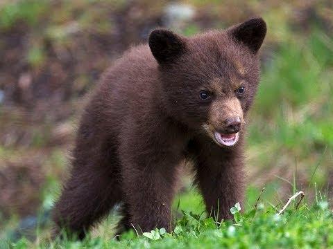 Amazing Bhalu the bear from Jungle book