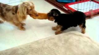 Dachshund Vs Yorkshire Terrier