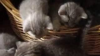 У нас родились котята скоттиш-фолд и страйт))