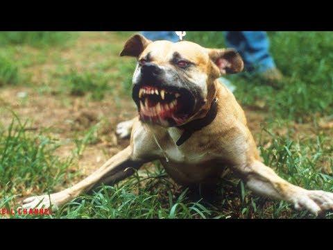 10 აკრძალული ძაღლის ჯიში (ვიდეო)