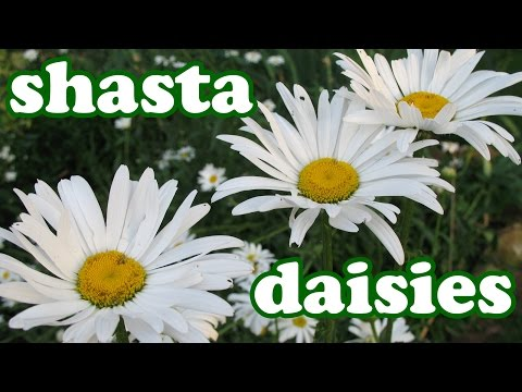 Shasta Daisy Flower Garden - Daisies Summer Spring Flowers - Perennial Perennials Plants - Jazevox