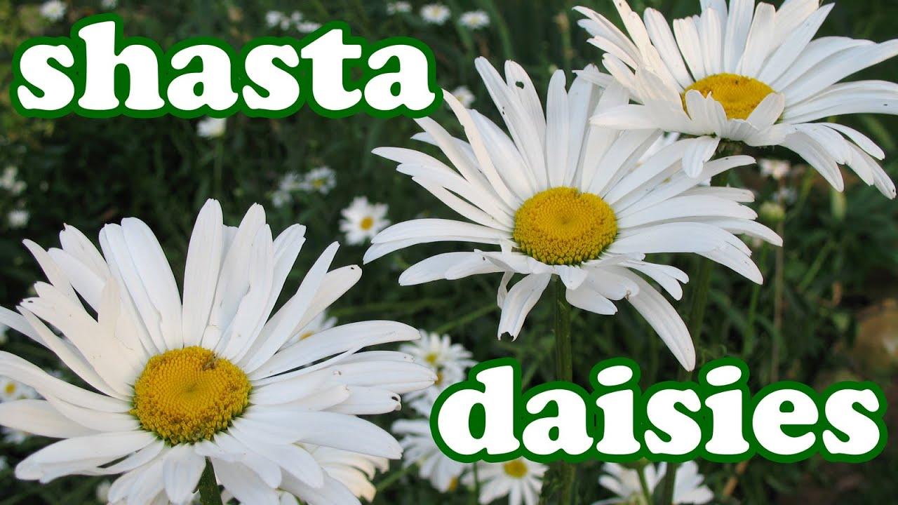 Shasta daisy flower garden daisies summer spring flowers shasta daisy flower garden daisies summer spring flowers perennial perennials plants jazevox youtube izmirmasajfo