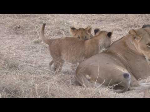 2016 Kimondo Lion Family Male 2 Females