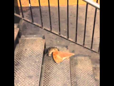 New York City Rats Prefer Italian Cuisine!