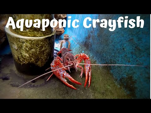 Aquaponic crayfish update (crayfish for aquaponics)