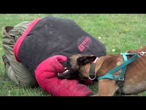 Harry Belgian Malinois   Protection Inside And Outside
