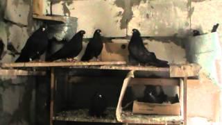 Николаевские-Мраморные голуби