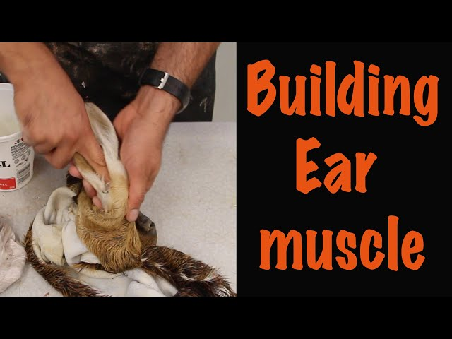 Building the muscle on Ear liner. How to video. Art of Taxidermy