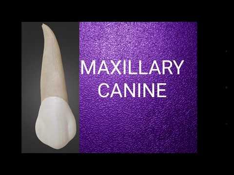Maxillary canine