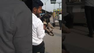 Best Quality Long Coat German Shepherd Puppies female for sale in Uttar Pradesh Uttarakhnad Bihar