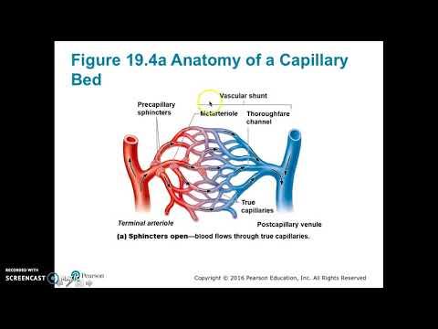 Blood Vessels A Part 2: veins, anastomoses
