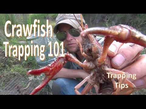 How To Catch Crawfish 101 W/ Gee's Trap/Extender