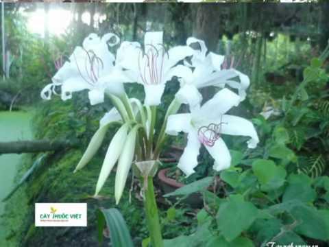 Cây thuốc Việt số 2 - cây trinh nữ hoàng cung