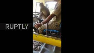 Monkey Bus-ness - Indian bus driver suspended after letting monkey 'drive'