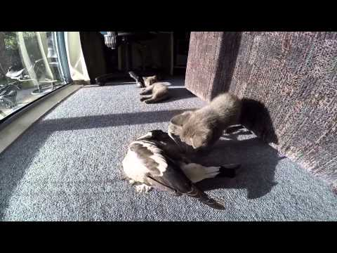 magpie playing with cats