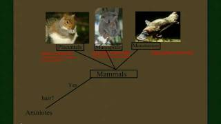 Vertebrate Diversity: Mammals Part 2 (the Subclasses)