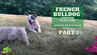 French Bulldog Puppies Playing - Harper and Buster Part 1