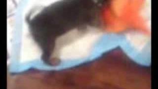 Alfie, Miniature Pinscher Pup