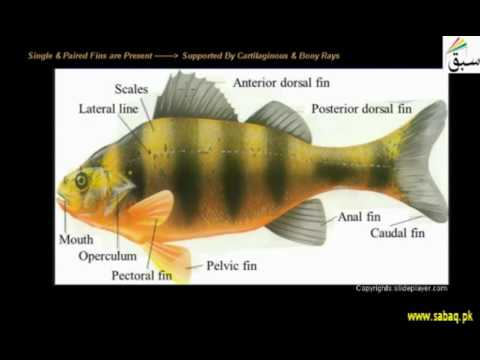 Class Osteichthyes, Biology Lecture | Sabaq.pk |