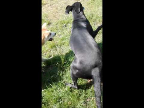 Akita vs The Great Dane, Deutsche Dogge, German Mastiff