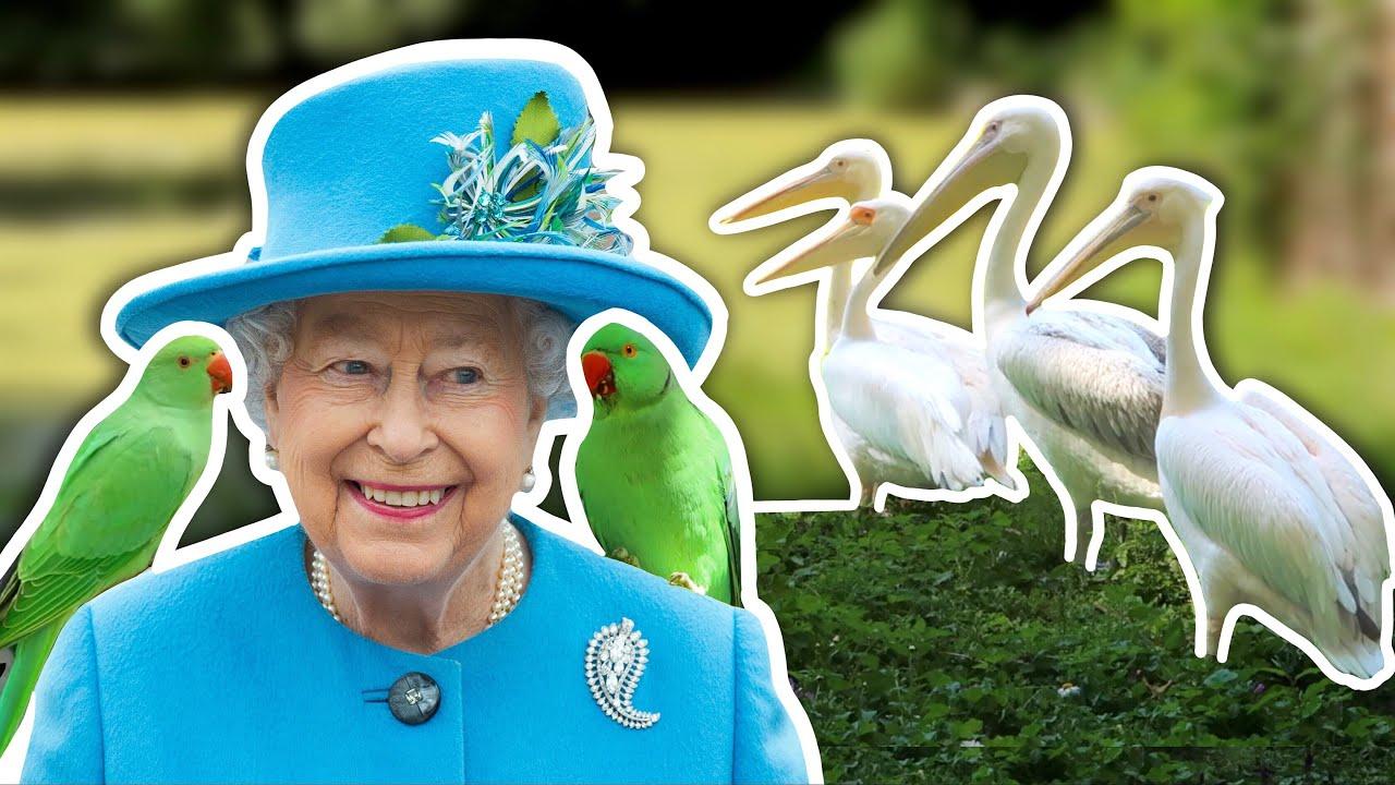 The Pelicans Who Live Next Door to the Queen