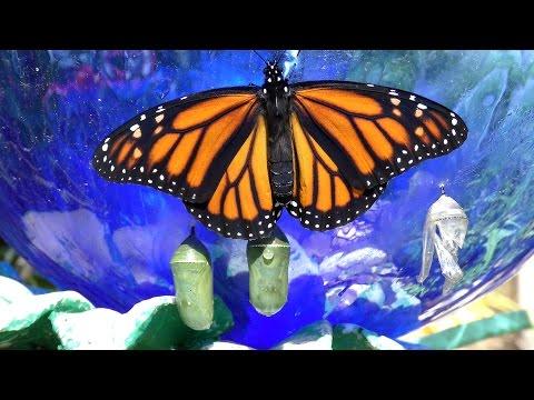 Monarch Butterfly Birth UHD 4K FYV