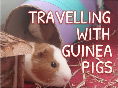 How to Travel with your Guinea Pigs